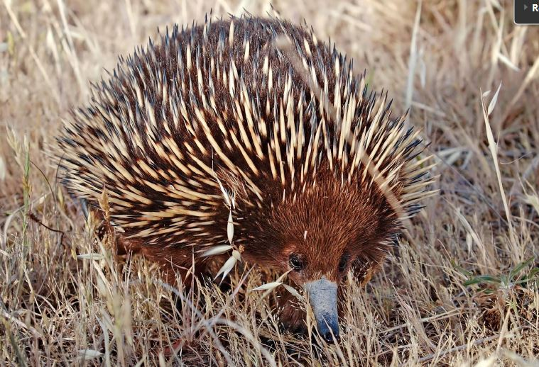 Nod the echidna
